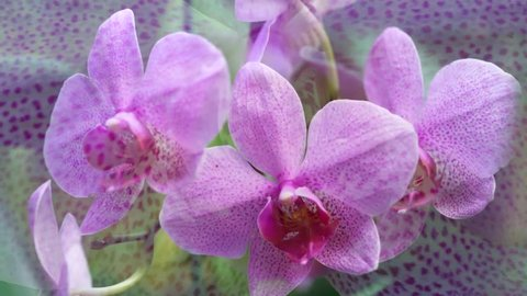 Orchid flower in orchid garden at winter or spring day for postcard beauty and agriculture idea concept design. Phalaenopsis orchid or Moth orchid