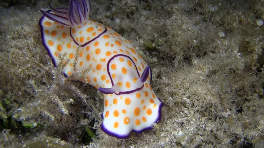 Ringed chromodoris nudibranch in coral in Red sea Marsa Alam Egypt. Nudibranch  white with orange spots