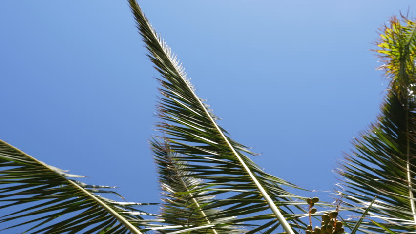Green leaves of date palm tree on blue sky background. Date palm tree close up.