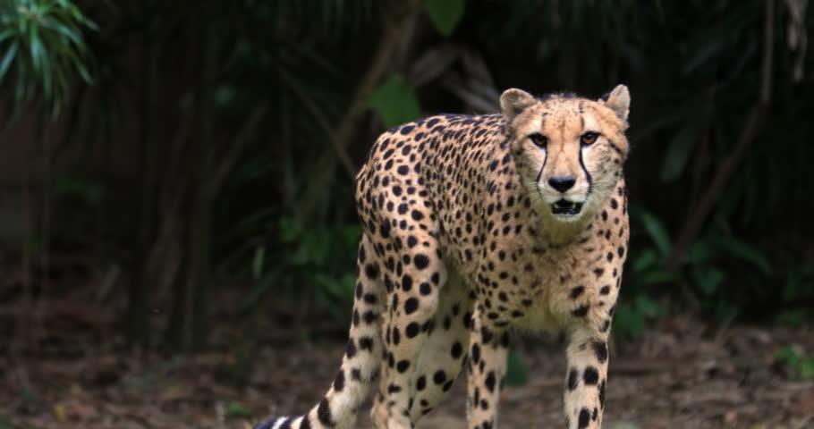 Cheetah creeping toward camera slow motion vodeo. Big leopard portrait | Shutterstock HD Video #1014051020