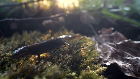 salamander crawling over moss at forest lake side