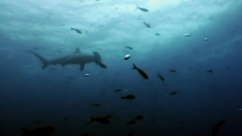 Hammerhead shark in shoal fish underwater lagoon of ocean Galapagos. Amazing life of tropical nature world in blue water. Scuba diving and dangerous extreme tourism.