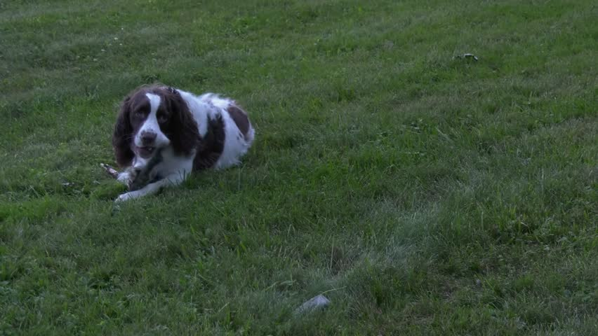 A Springer Spaniel laying in the grass chewing on a small stick.