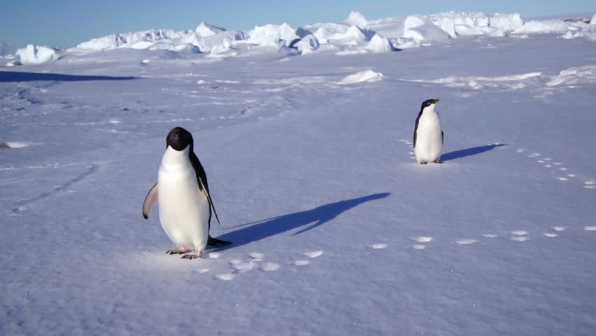 Couple of Adelie penguin on Antarctic coast