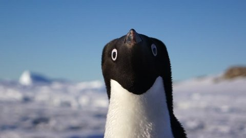 Close up view of the Adelie penguin on Antartctic coast