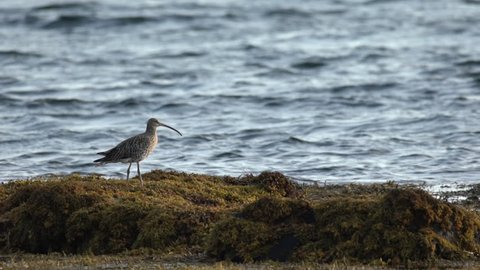A curlew stands on seaweed
