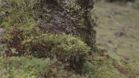 Dolly shot of the bark of a Araucária tree. Close up. Urubici, Santa Catarina / Brazil