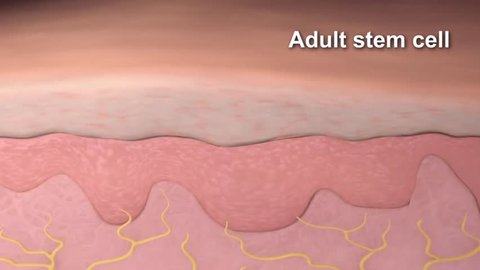 Animation of the skin cell structure. (Adult stem cell, new stem cell, new skin cell )