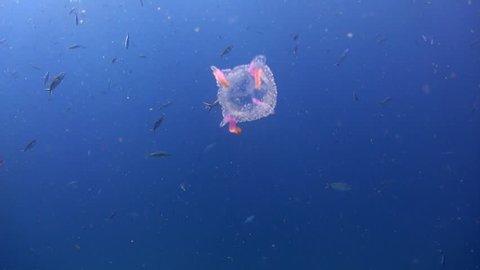Box Jellyfish Underwater