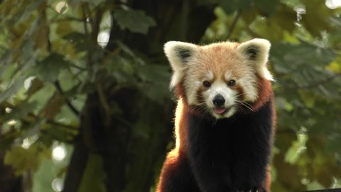 Red panda sitting on a tree. Resting. 4K, UHD, 50p,Panning,Closeup,