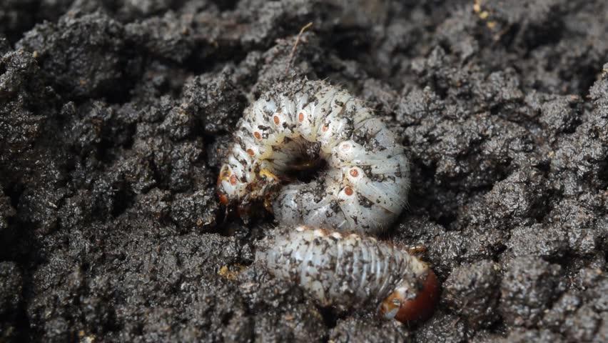 Dynastinae larva ( or siamese rhinoceros beetle ) crawling into the ground