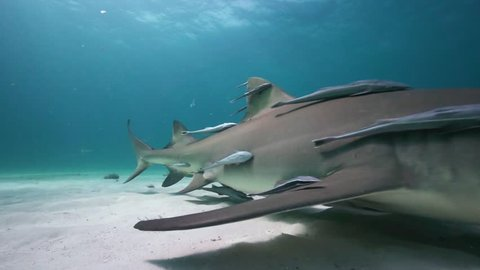 Lemon sharks approach and pass close to the camera in clear blue water in the Bahamas during a shark feeding, shark diving expedition. Shot in 50p for perfect slow motion