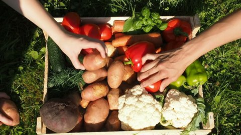 Farmers Market: Farmer's Hands Put Fresh Vegetables Into Box. Organic Vegetables, Organic Farming Concept. Healthy eating, healthy care and clean food concept. Farmer Working Garden Stock Vegetables