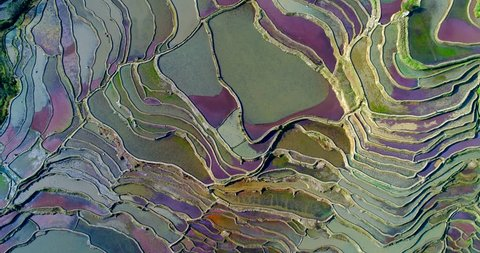 Aerial footage of colorful rice paddy fields during spring. Red duckweed covering the water surface causes the red and purple tones. Part 1 of 2, can be merged into a continuous movie.