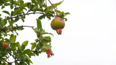 Pomegranate tree. Unripe green pomegranate on a branch on gray sky background