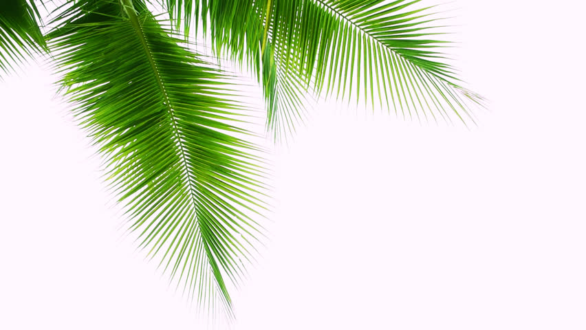 Detail of coconut trees leaf isolated on white background  | Shutterstock HD Video #1014420320