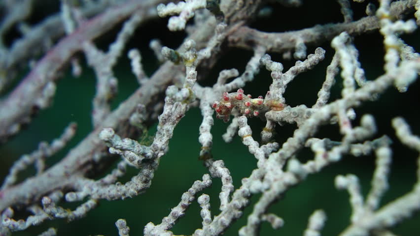 Pygmy seahorse on branching coral at Anilao in the Philippines.