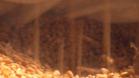 Granary.The grain is poured. Man inspects quality of unpeeled wheat grains. Flour production. Small ray of sunlight and a lot of dust