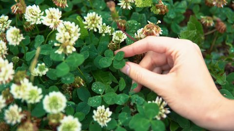 A female hand turns a four-leafed clover, among white flowers, a close-up. Someone managed to find a green symbol of luck.