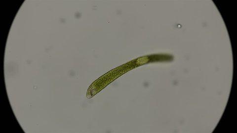 Euglena ehrenbergii under a microscope