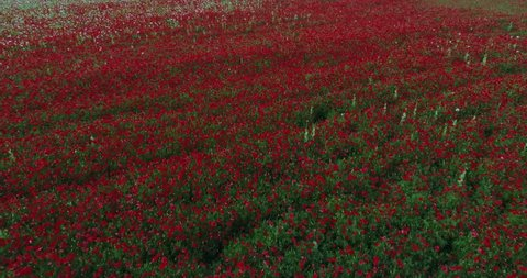 The aerial view of poppies fields