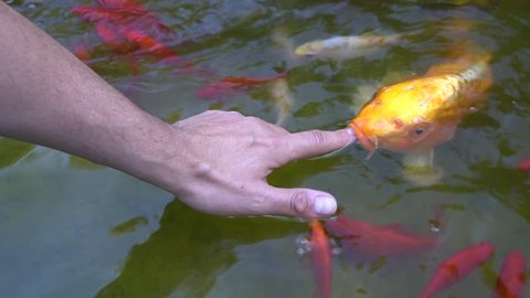 Feeding fish with one hand. A male hand strokes yellow carp koi and gold fish. Cyprinus Carpio life.