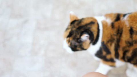 Calico cat standing up on hind legs begging for treat, paws up, adorable cute big eyes asking for food in kitchen floor by cabinets, intelligent doing trick, shaking head