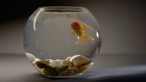 decorative goldfish is swimming inside a round aquarium and eating forage