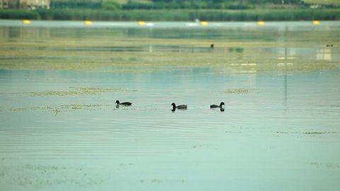 """Coot in the Mogan Lake in Ankara,Turkey. Coots are small water birds that are members of the rail family, Rallidae. They constitute the genus Fulica, the name being the Latin for """"coot""""."""