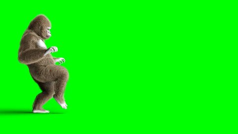 Funny brown gorilla walking. Super realistic fur and hair. Green screen 4K animation.