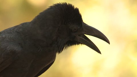 Large-billed Crow Adult Lone in Spring Bill Beak Mouth in India