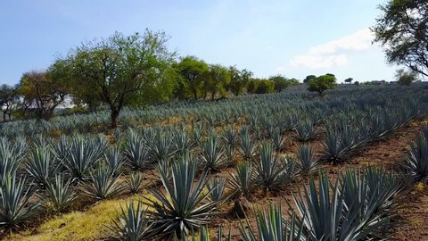 tequila agave aerial view of the plant where the tequila is extracted, alcoholic beverage