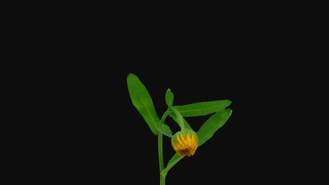 Time-lapse of opening orange calendula flower 1b1 in PNG+ format with ALPHA transparency channel isolated on black background