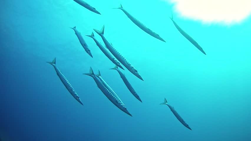 Underwater fish Barracudas shoal in open sea   Shutterstock HD Video #1014920920