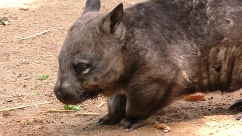 Southern Hairy-nosed Wombat Adult Lone Resting