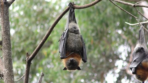 Grey-headed Flying Fox Adult Lone Resting Hanging Upside Down in Australia