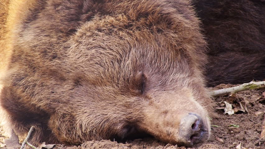 Brown black bear sleeps slightly moving his nose and eyes