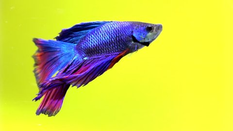 Siamese fighting fish beautiful in slow motion