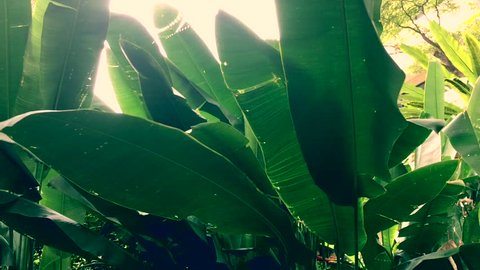 The wind blows in the banana jungle and banana leaf is sway with red flower