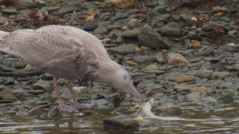 Mew Gull Immature Juvenile Eating in Fall River Stream Creek in Alaska