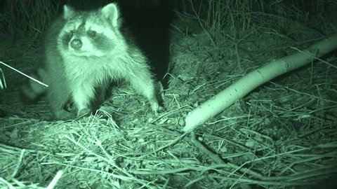 Raccoon Adult Lone Foraging in Fall Hands in South Dakota