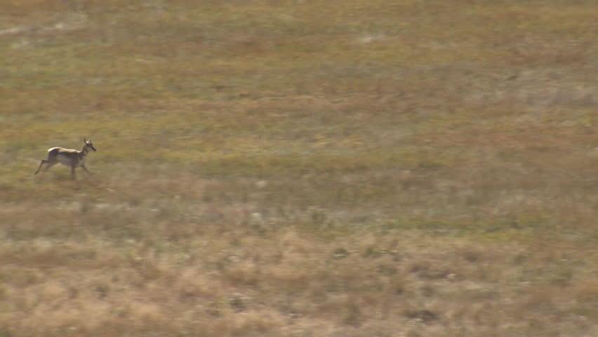 Pronghorn Antelope Pair Running in Fall in South Dakota #1015049320