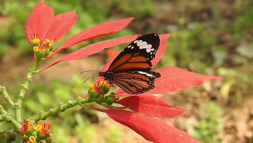 (Euphorbia pulcherrima ) wild Poinsettia with isolated Background and orange color Monarch Butterfly taking food in Forest.