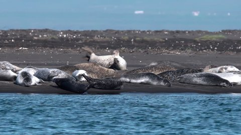 Seals jumping and swimming in ocean estuary, Iceland sunny day