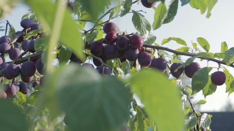 The harvest of plums, branch with ripe, juicy plums hanging. Through the foliage plays with the sunlight.Close up
