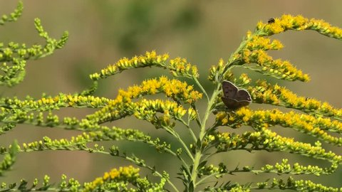Sooty cooper and other insects on a goldrod, Lycaena tityrus