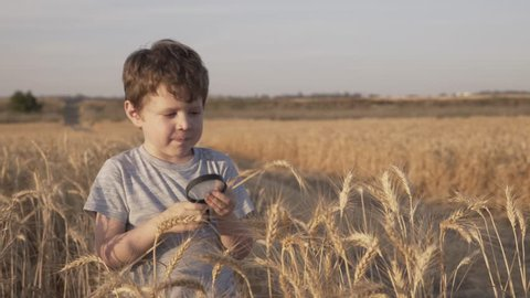 Little boy / child examining  Ears of wheat Through a magnifying glass.  wheat field. Playing And Studying Ears of wheat. Field wheat at the sunset - 4k video