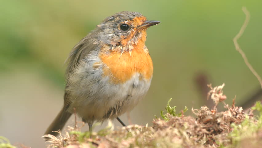 Robin juvenile bird animal on ground close up untidy plumage jump away | Shutterstock HD Video #1015220020