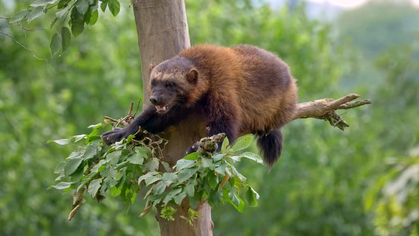 Wolverine (Gulo gulo) up in the tree