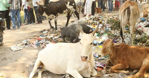 Cow eating at Garbage on road